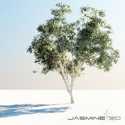 Tree_PimientaDioica_001.jpg