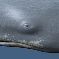 spermwhale maya