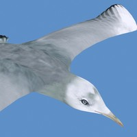 seagull animation 3ds