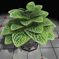 xsi plant fittonia house
