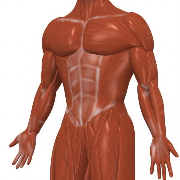 muscles3_render.jpg