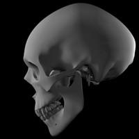 3d model human skull modeled