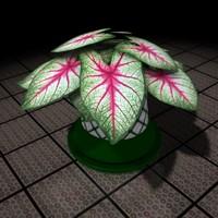 plant Caladium