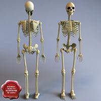 3d model human skeleton