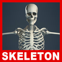 Human Skeleton (No Textures)