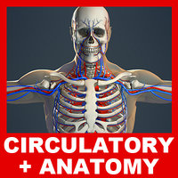 Circulatory System, Skeleton and Male Body (No Textures)