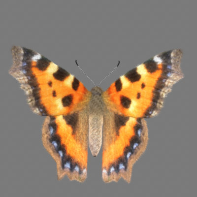 Fur! Tortoise Shell Butterfly with Maya Fur!
