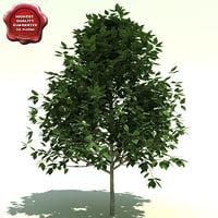 3d model carpinus caroliniana american hornbeam