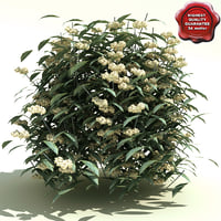 Viburnum rhytidophyllum (Cree)