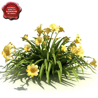 Hemerocallis (Stella de Oro)