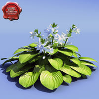 3d hosta plantaginea aphrodite