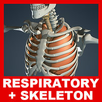 Respiratory System, Skeleton and Diaphragm (No Textures)