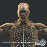 medically nervous male body 3d model