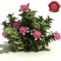 hydrangea macrophylla mariesii variegata 3d model