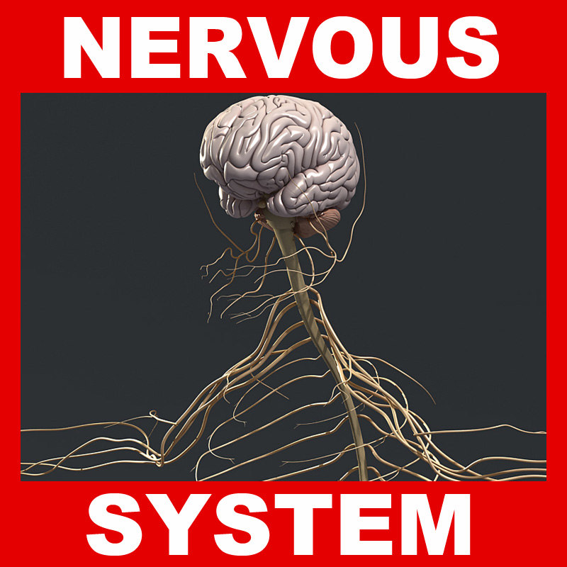 Nervous_System.jpg