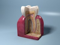 obj tooth cross section