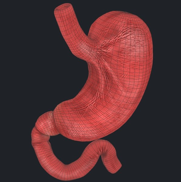 3d model stomach muscle circular - Stomach Musculature Circular Muscle... by nesneci