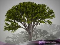 D2.C1.01 Acacia Tree
