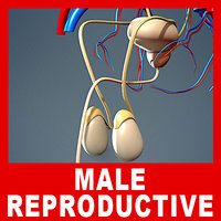 medically male urinary reproductive 3d model
