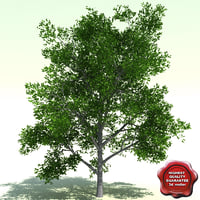 3ds max quercus palustris pin oak
