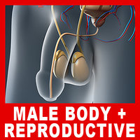 Male Body, Urinary, Endocrine & Reproductive Systems (No Textures)