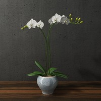 orchid in blue white ceramic pot