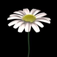 3d flowers daisy