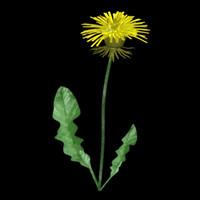 3d flowers dandelion