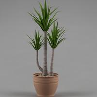 maya plant yucca elephantipes