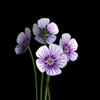 3d geranium bloom flowers purple