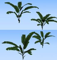 leaf japanese banana max