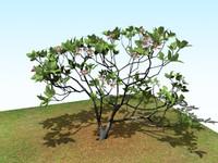 frangipani tropical tree flower max