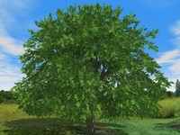 Tree Ash 07m