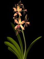 flower cymbidium jewel orchid 3d ma