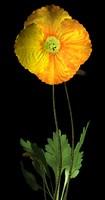 maya flower iceland poppy