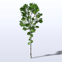 maya birch tree