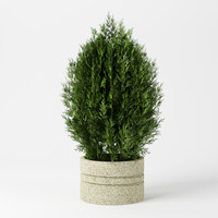 Bush_12_fir_tree