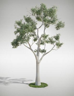 eucalyptus_01.jpg