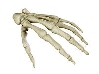 3ds max hand skeleton