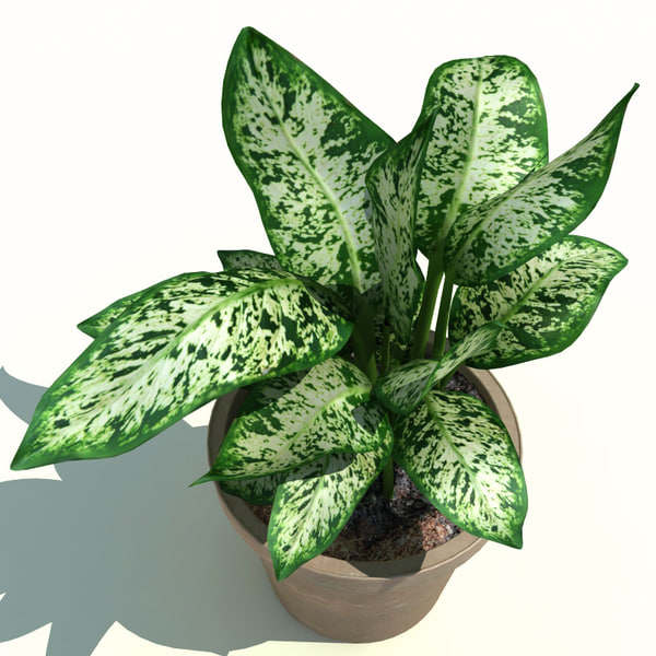 dieffenbachia picta exotica 3d model - Dieffenbachia picta Exotica ...