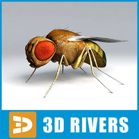 drosophila insect 3d model