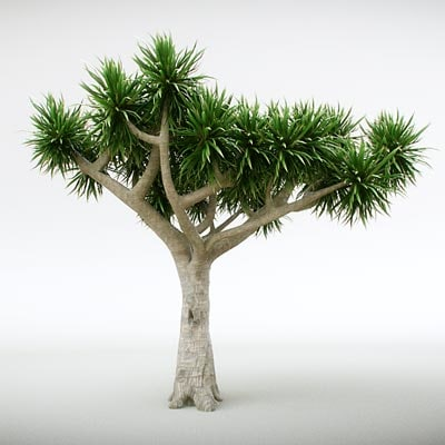 maya canary tree dracaena draco. Black Bedroom Furniture Sets. Home Design Ideas
