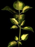 plant coleus ma
