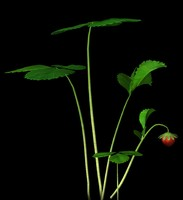 maya plant strawberry