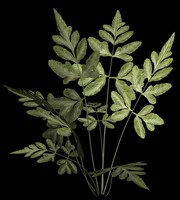 plant variegated pteris fern ma