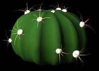 maya cactus ferocactus latiapin