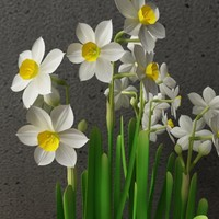 narcissus in ceramic pot