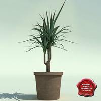 dracaena marginata 3ds