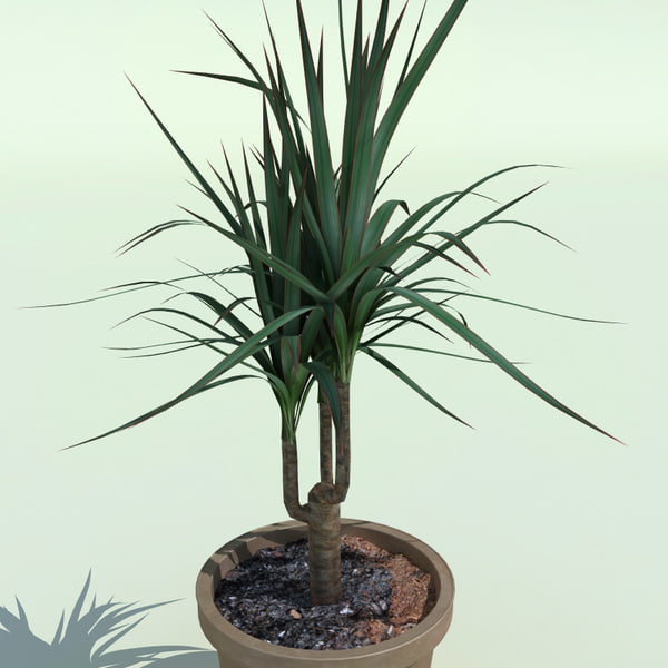 dracaena marginata 3ds. Black Bedroom Furniture Sets. Home Design Ideas