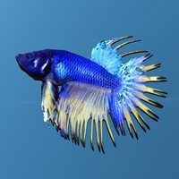 Beta Fish (Chinese Fighting Fish)
